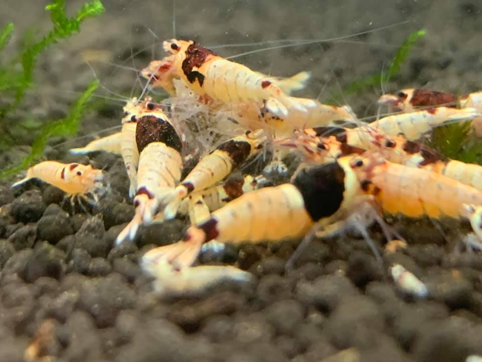White and red shrimps